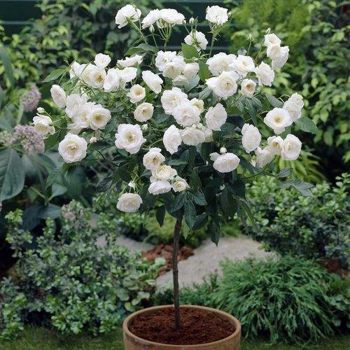 Белые штамбовые розы в горшке