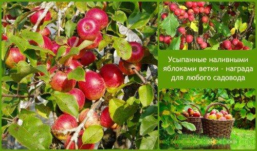 наливные яблоки - награда садоводу