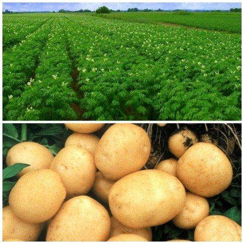 Выращивание картофеля на лунках