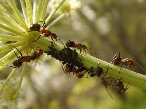 Как избавиться от муравьев и тли на дачном участке