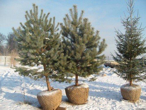 Деревья-крупномеры
