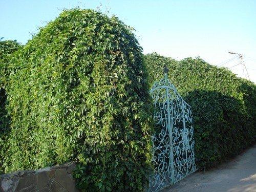 Зеленые вертикали на даче