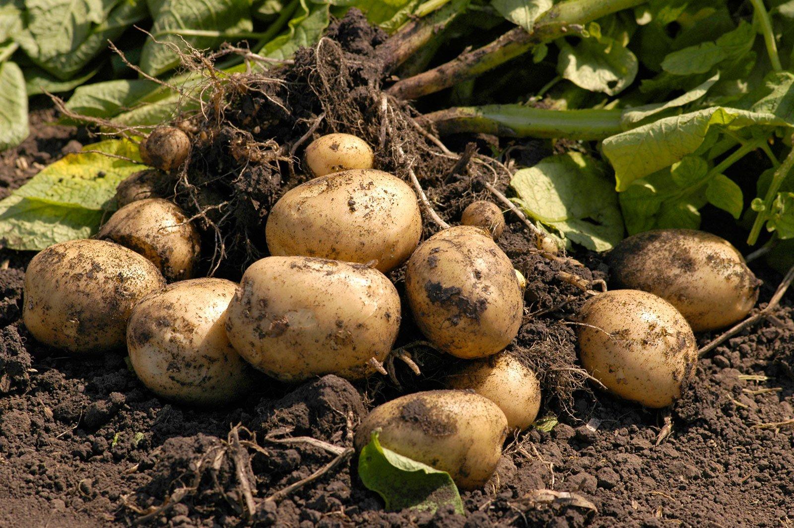Выращивание картофеля в засушливых районах