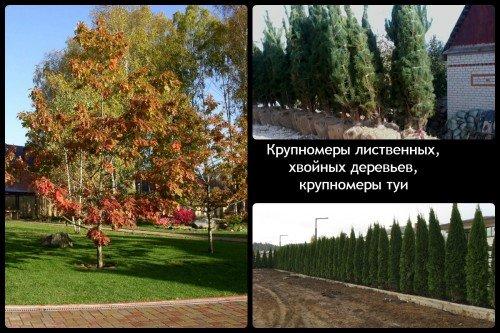 Крупномеры лиственных, хвойных деревьев, крупномеры туи