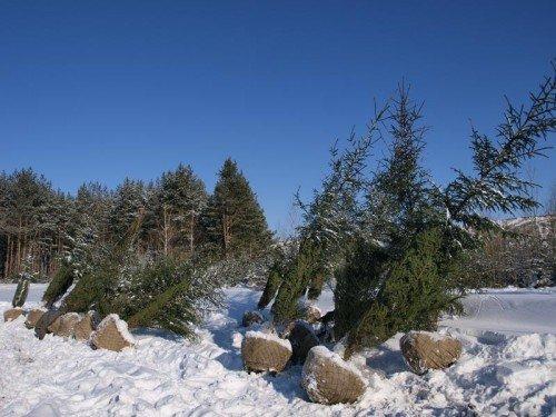 Ландшафтное проектирование, саженцы деревьев