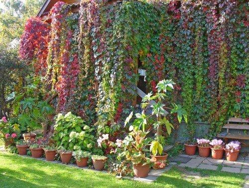 Лианы в вертикальном озеленении