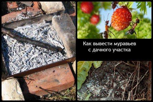 Зола и кипяток помогут в борьбе с муравьями