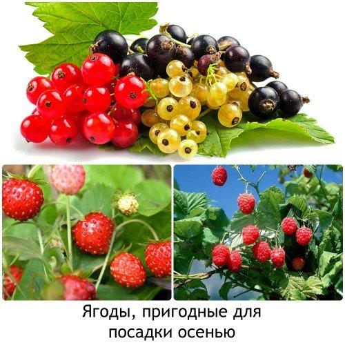 Какие ягоды сажать осенью