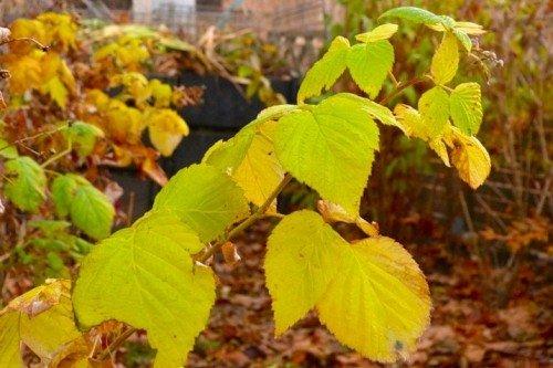 Листья малины осенью