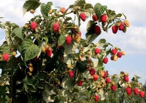 Урожай на кусте малины