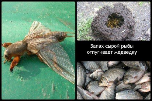 Запах испорченной рыбы против медведки