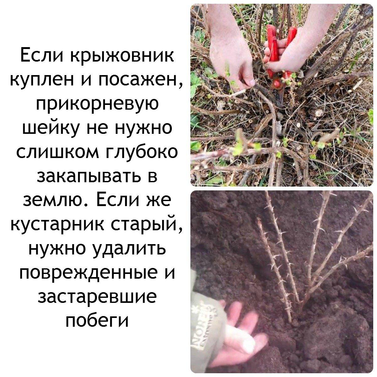 Крыжовник выращивание обрезка фото