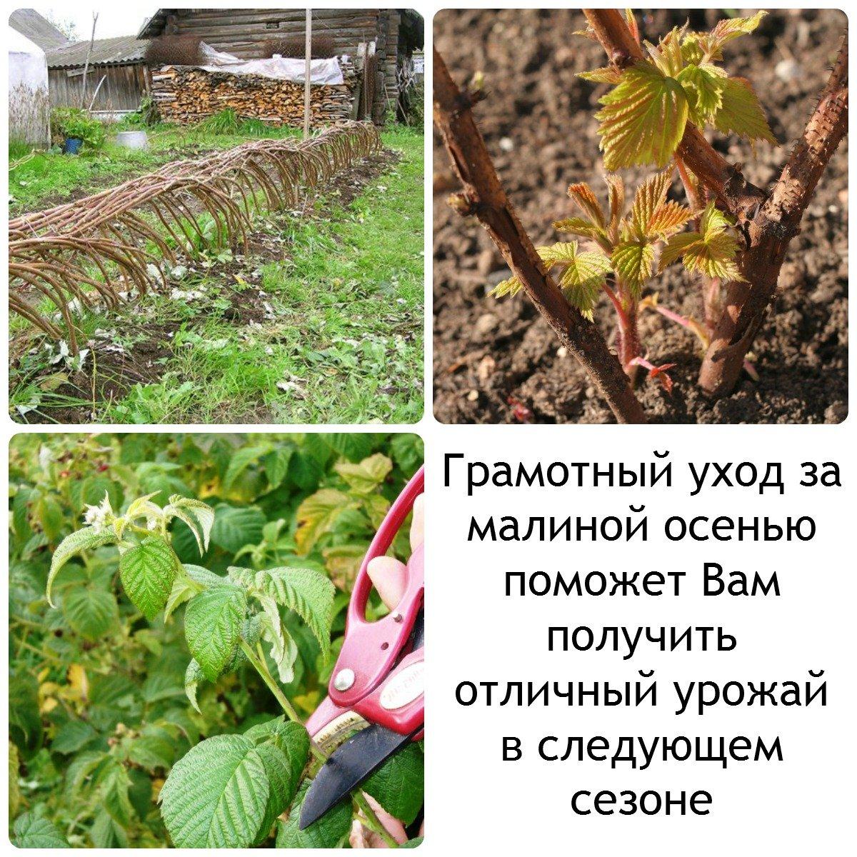 Уход за малиной осенью и подготовка к зиме: обрезка и укрытие