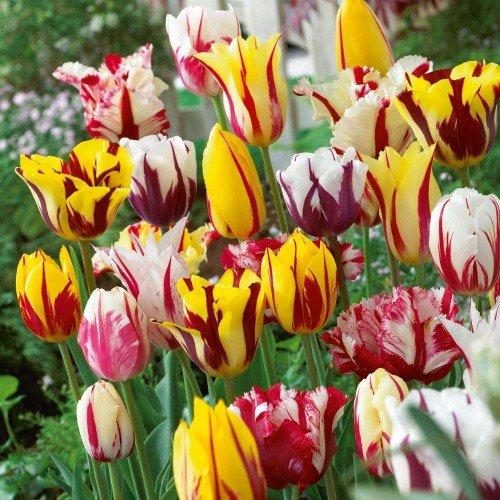 Тюльпаны самые популярные луковичные