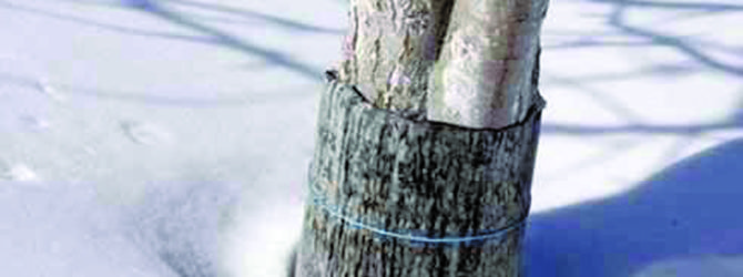 Защита дерева от мороза