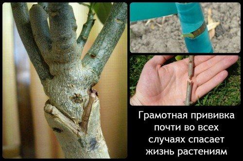 Прививка растений и саженцев
