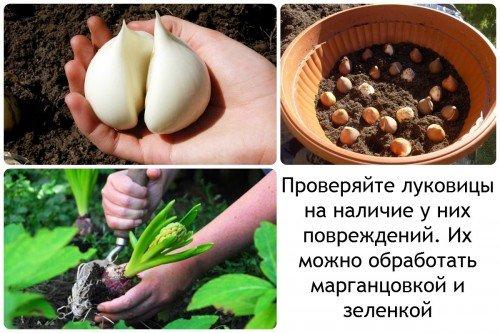 Отбор луковиц