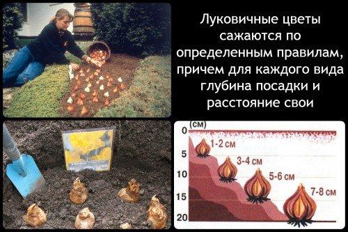 Принципы посадки луковичных