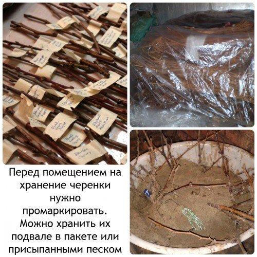 Хранение черенков