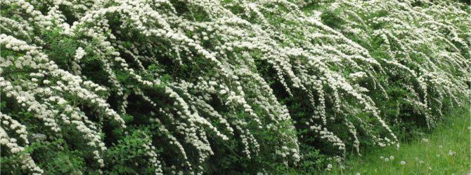 Цветущая живая изгородь