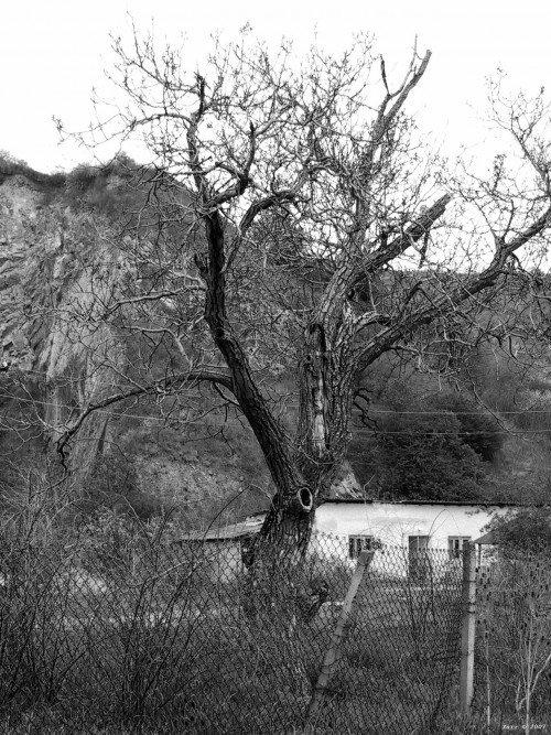 Старое сухое дерево на спил