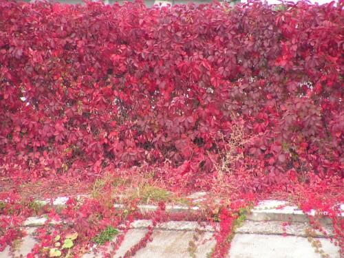 Живая изгородь из девичьего винограда