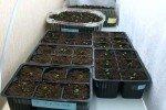 Семядольные листочки земляники