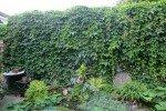 Девичий виноград летом