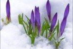 Первые цветы в снегу