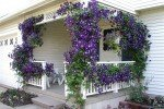 Стена дома, украшенная вьющимся растением