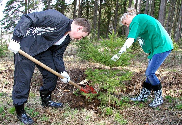 когда высаживают елки в грунт