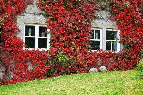 Осенний плющ
