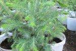 Голубая ель из семян в домашних условиях