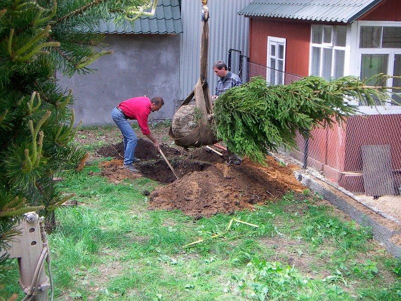 посадить елочку