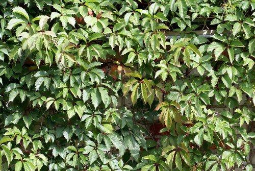 Пятилисточковый девичий виноград