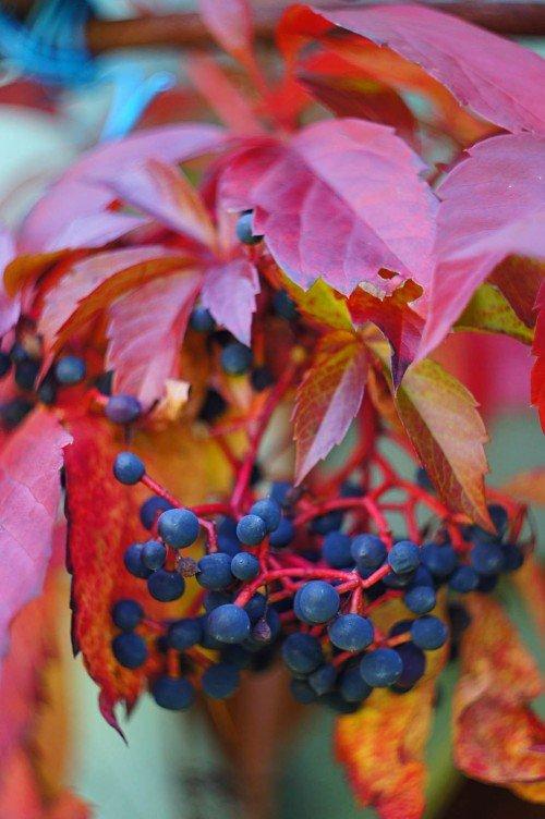 Плоды девичьего винограда