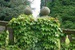 Триостренный девичий виноград