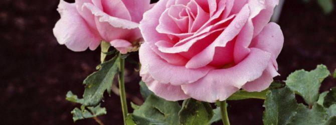 Пересаживаем розы