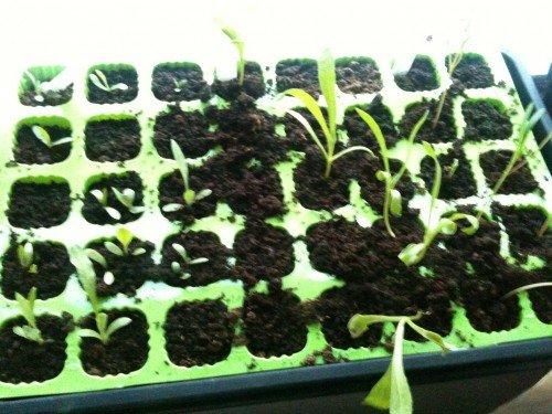 Выращивание календулы через рассаду
