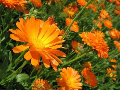 Цветение календулы