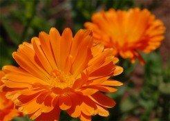 Цветущая оранжевая календула