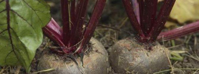 Посадка и выращивание свеклы в открытом грунте: уход и прореживание 86