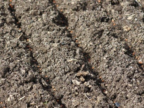 Посаженные семена свёклы