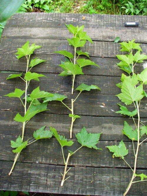 Зеленые черенки черной смородины