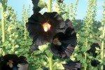 мальва нигра