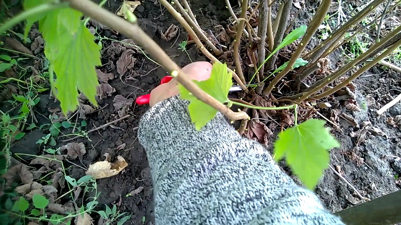 Подготовка и посадка смородины черенками осенью и весной. Уход за растением