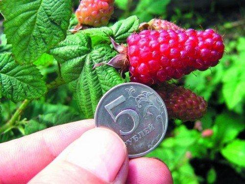 Спелые ягоды ежемалины