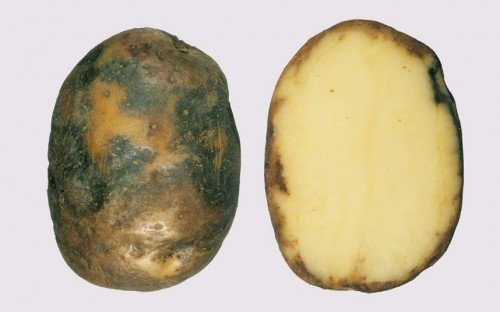 Пораженный фитофторой клубень картофеля