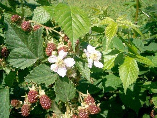Спеющие ягоды ежемалины