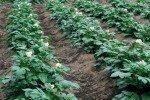 Картофель на грядках